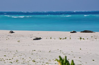 Monk seals sunning on the beach while the group cuts down ironwood trees.