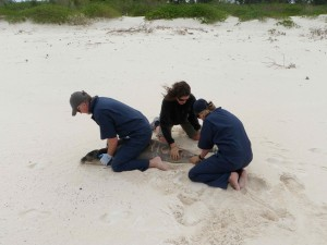 Meagan and Andy help Tracy Wurth from NOAA tag a yearling female monk seal (PT-30 aka Duke). Photo by Amy Bishop.