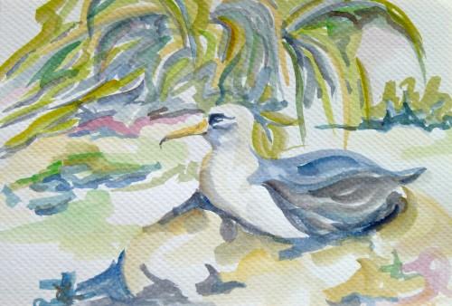 Laysan albatross and native bunch grass