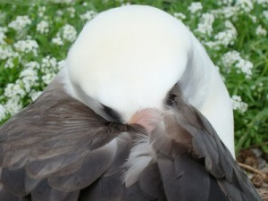 Laysan Albatross tucked in from the wind and napping on this windy day