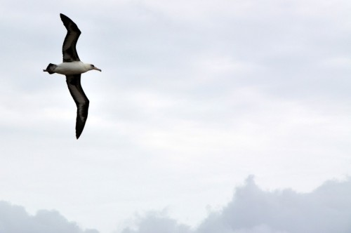 A Laysan Albatross in flight on our way out of the Reserve.