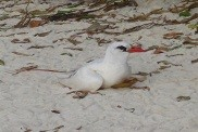 The Red-tailed tropic bird.