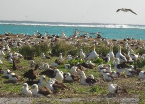 Among Laysan albatrosses, large, yellow-headed short tail albatross decoys attract the critically endangered species. A single short tail albatross, one of 4 on Midway, rests in the left side of the picture.