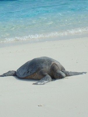 Green Sea Turtle Basking in the Sun