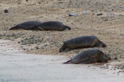 Turtles Basking on Turtle Beach