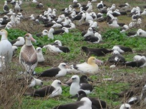 Short-Tailed Albatross (also known as the Golden Goonie)