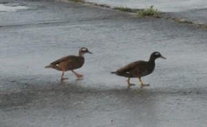 Laysan Ducks