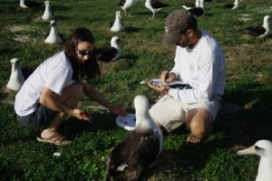 Collecting Albatross Bands