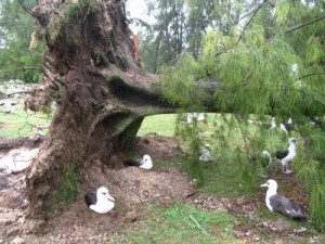 Albatross Nest Under Fallen Tree