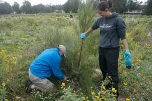 Pruning Ironwoods