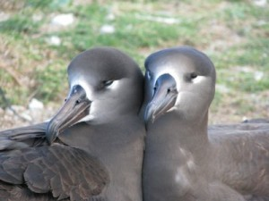 Two Albatross