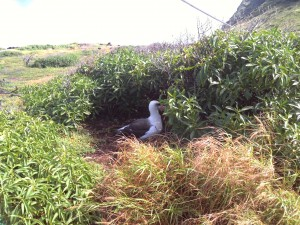 A Laysan albatross decided to nest right next to the path