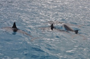 Spinner dolphins surfacing to breathe.