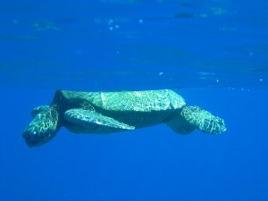 Green sea turtle on our snorkel at Makaha Cavern.