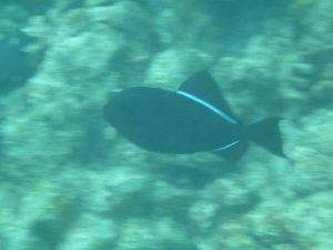 Black_Triggerfish