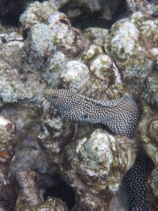 Whitemouth_moray