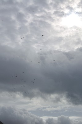 An unusually large flock of Great Frigatebirds in the threatening clouds inside Ka'ena Point Reserve.