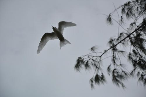 A fairy tern from below. These guys like to nest in the invasive iron wood trees.