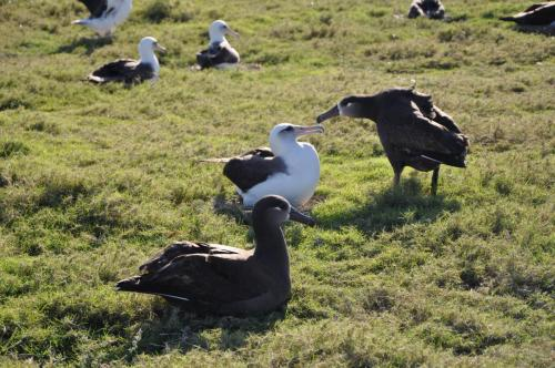 Here are two Laysan Albatross and a Black-Footed Albatross. The Black-Footed was getting too close to the nesting Laysan, so there was a bit of a disagreement, after which the Black-Footed slunk off.