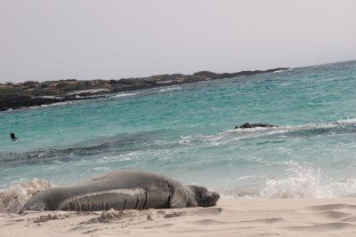Resting Monk Seal