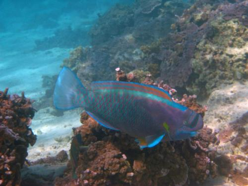 Spy the spectacle parrotfish