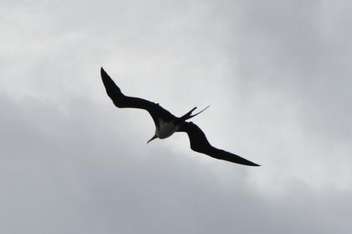 Female Great Frigatebird, distinguishable by her white breast.