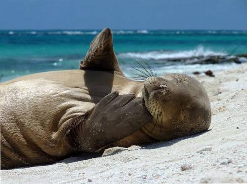 monk_seal