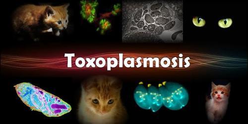 toxoplasma_soscary