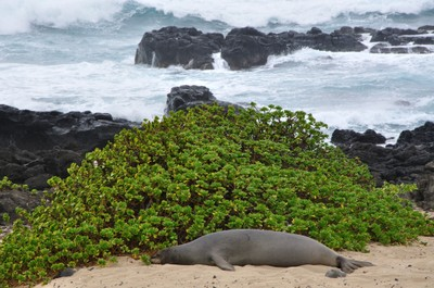 Our first Hawaiian monk seal, fat and happy
