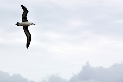 Laysan Albatross fighting the wind