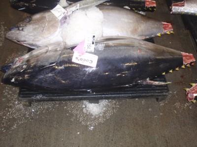 Bigeye tuna, sold, 154 lbs!