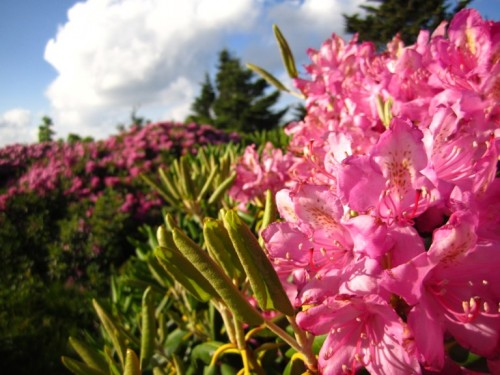 The flowers I drove two hours to see: Catawba Rhododendrons. Still in bloom!