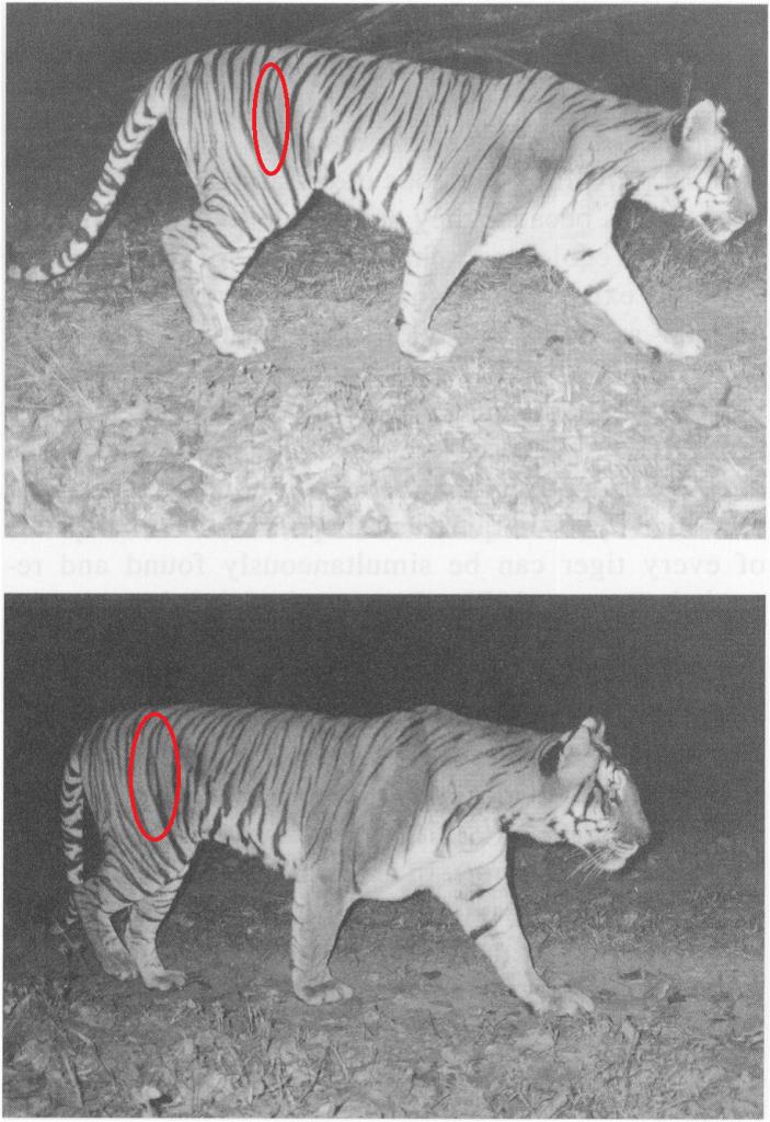 Tiger Recapture Photograph