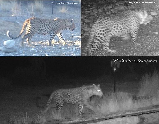 Camera-trap photos of leopards on the Neuras Wine & Wildlife Estate, Namibia.