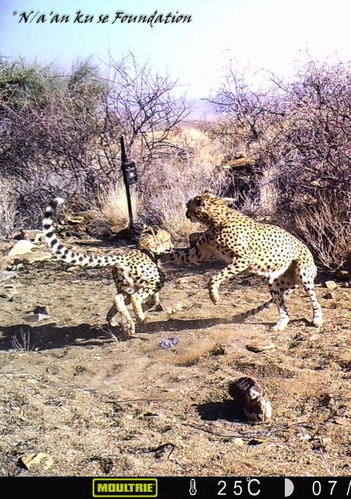 Two Cheetahs Play Fight, Neuras, Namibia