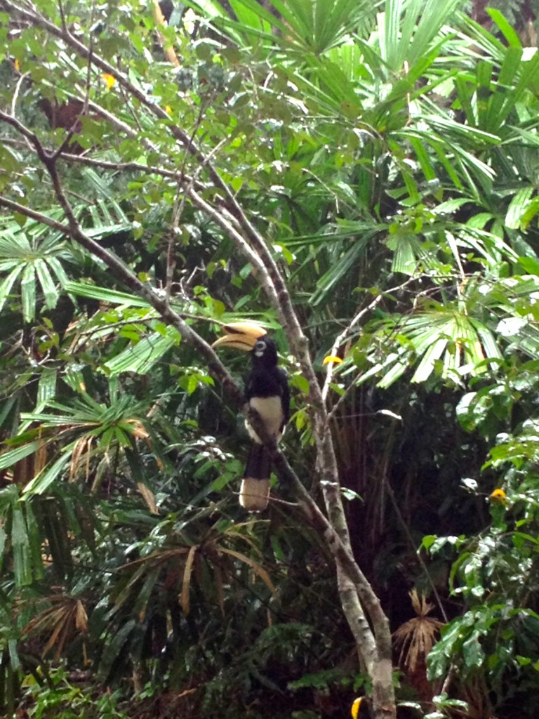 My best bird pic of the summer came when this Oriental Hornbill got curious right next to the Koh Ra Ecolodge Clubhouse. Pretty decent for an iPhone photo (especially of an uncooperative bird).