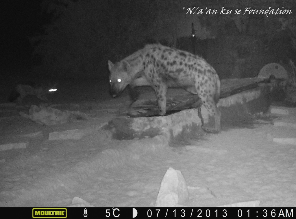 A spotted hyena visits a Neuras waterhole. Often stereotyped as scavengers, spotted hyenas are in fact highly efficient hunters. Spotted hyenas are also remarkable for their matriarchal social structure and for boasting the strongest jaw of any mammal relative to their body size.