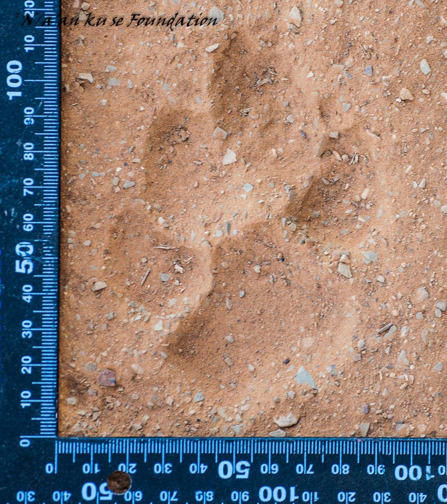 Left footprint of a spotted hyena that I found on a road along the northern border of the Neuras Wine & Wildlife Estate, Namibia. The large size, the pad that droops slightly to the outside, the claw mark above the right toe, and the concavity of the left toe are characteristic of spotted hyena prints.