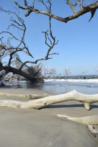 "When coastal erosion catches up with maritime forests a ""boneyard beach"" is created. Huntington Island, SC."