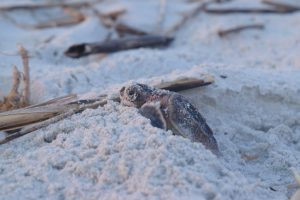 One of the first Loggerhead hatchlings of the season.