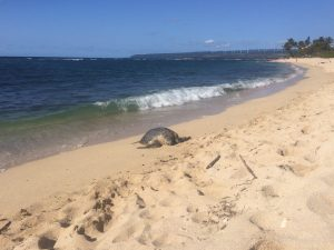 Not yet sick of sea turtle photos? This is another green basking on the North Shore.
