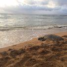 Hawaii Sea Turtle Management 101