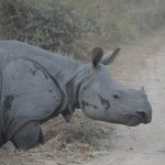 An Assamese one-horned rhino begins to charge in Kaziranga National Park.