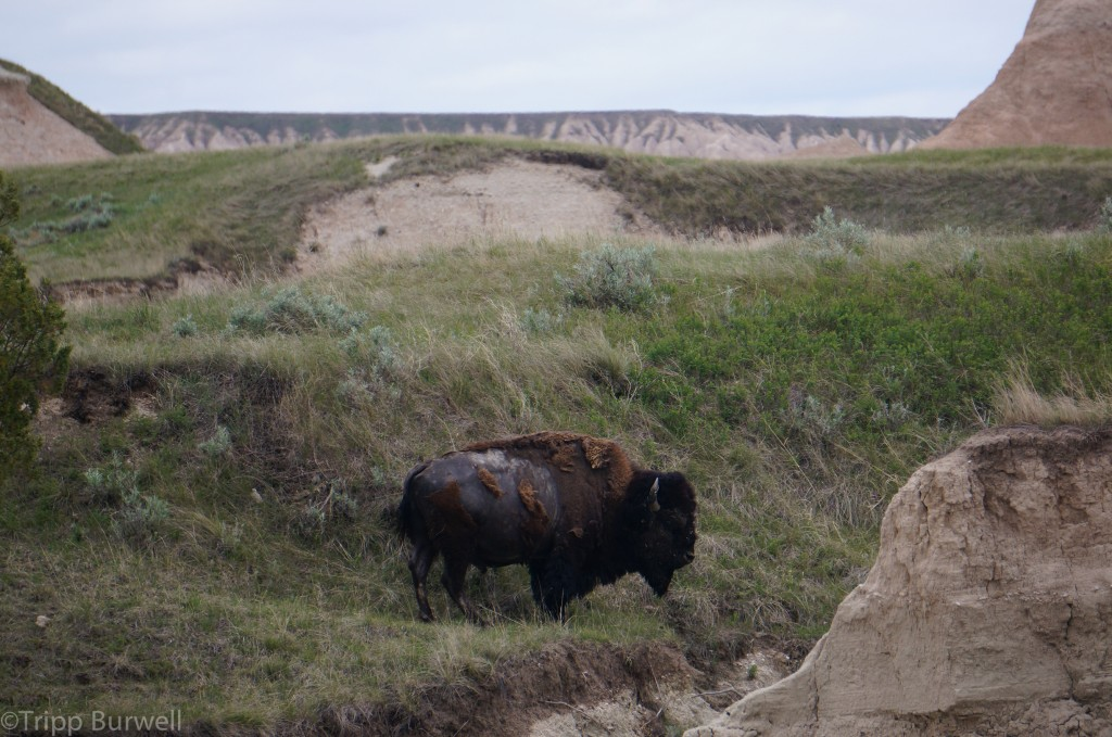 Buffalo. Badlands National Park.