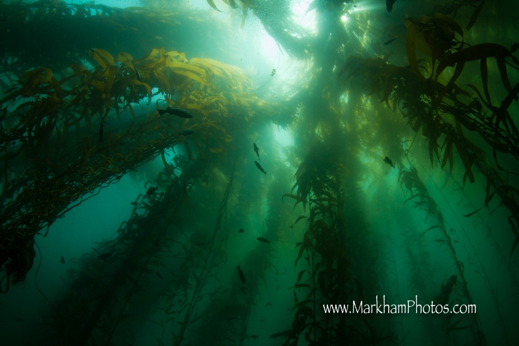 Rockfish hover between the towering spires of kelp