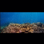 After a long drift along a wall of coral off East New Britain, Papua New Guinea we ended in an eddy of current over a coral garden. Gathered here was a glittering cloud of juvenile anthias and chromis, no fish bigger than a few centimeters