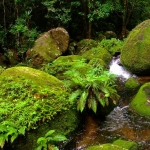 A magical pocket of cloud forest left over from a wetter past at the top of Mount Lewis in Far North Queensland inland from Port Douglas. Farther along this track Golden Bower Birds and the rare Blue faced parrot finches lure birders to the misty heights