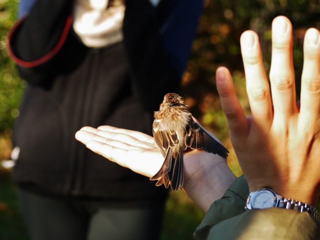 sparrow bird banding outdoor devil