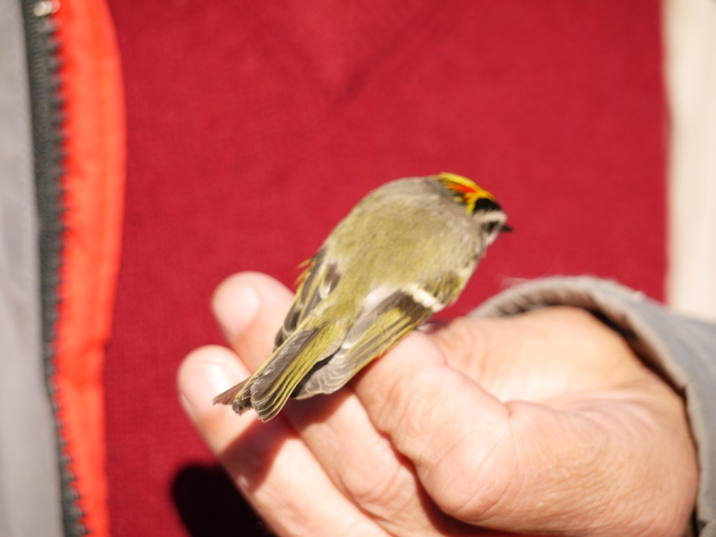 bird banding outdoor devil kinglet