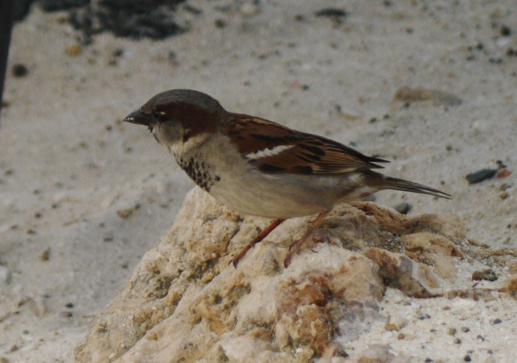 house sparrow outdoor devil duke